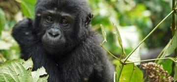 4-day Uganda Gorilla Trekking Experience