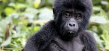 8-day Uganda Group Gorilla Trekking