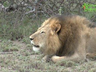 Lion calling - Ol Motorogi Conservancy, Kenya