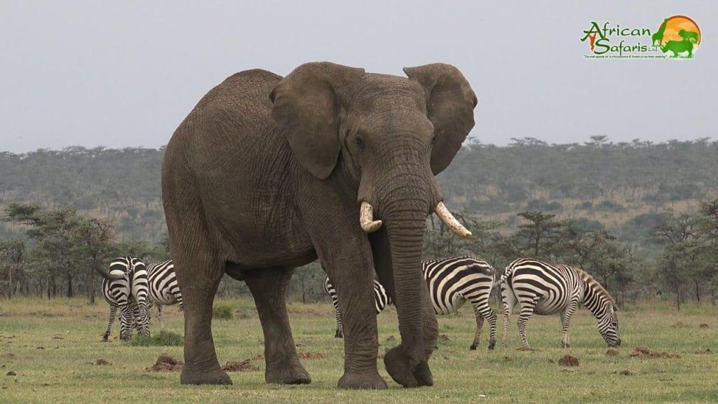 Large elephant in Ol Pejeta Conservancy, Kenya