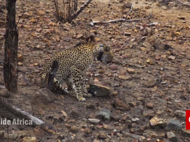 Liwonde National Park: Establishing a Sanctuary for Lion and Cheetah