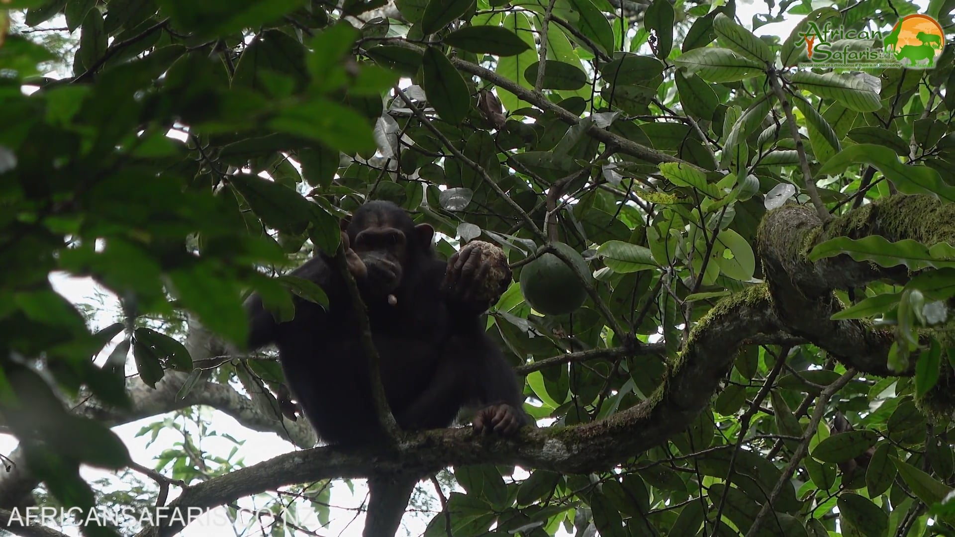 Chimpanzee Tracking, Kibale National Park, Uganda