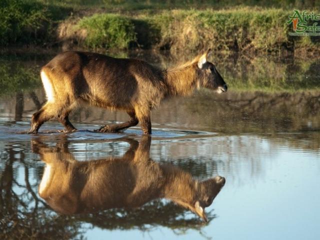 African Reflections - Defassa Waterbuck, Lake Nakuru, Kenya