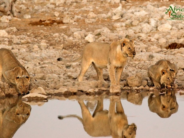 African Reflections - Lions drinking at a waterhole in Etosha National Park