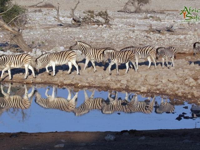 African Reflections - Zebras coming down to drink at a waterhole in Etosha National Park