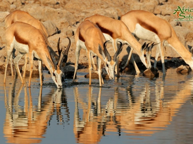 African Reflections - Springbok drinking at a waterhole in Etosha National Park