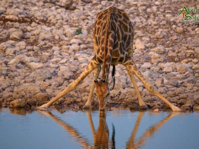 African Reflections - Giraffe drinking at a waterhole in Etosha National Park