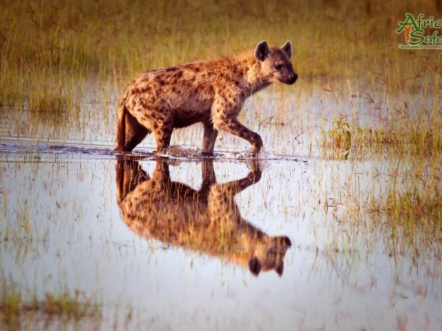 African Reflections - Spotted Hyena walking through flooded area of the Masai Mara, Kenya