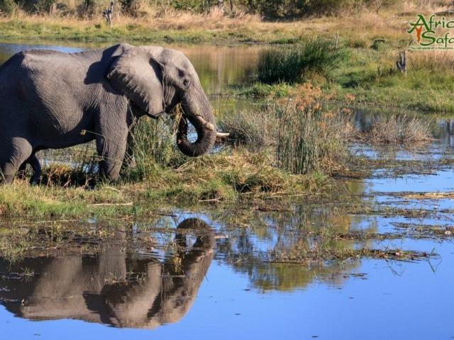 African Reflections - Elephant drinking in Okavango Delta, Botswana