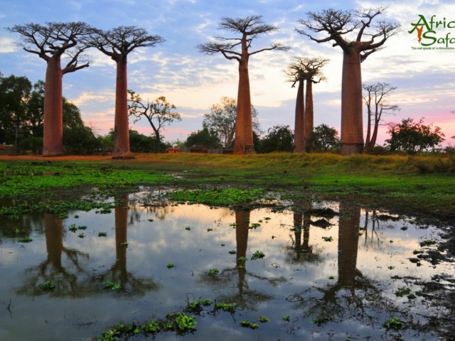 African Reflections - Avenue of Baobabs, Madagascar