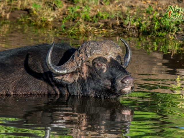 African Reflections - Cape Buffalo cooling off in the Chobe River, Botswana
