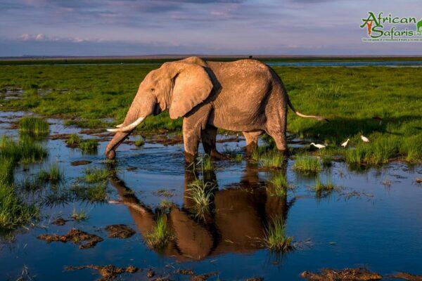 African Reflections - Elephant in Amboseli Marsh, Kenya