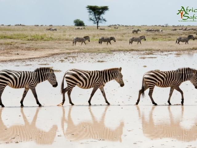 African Reflections - Zebra walking through flooded area in Serengeti National Park, Tanzania