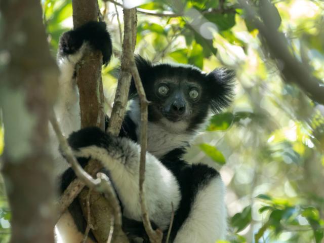 Indri, Andasibe-Mantadia National Park