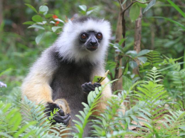 Diademed Sifaka, Andasibe-Mantadia National Park