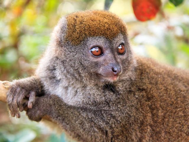 Lesser Bamboo Lemur, Andasibe-Mantadia National Park