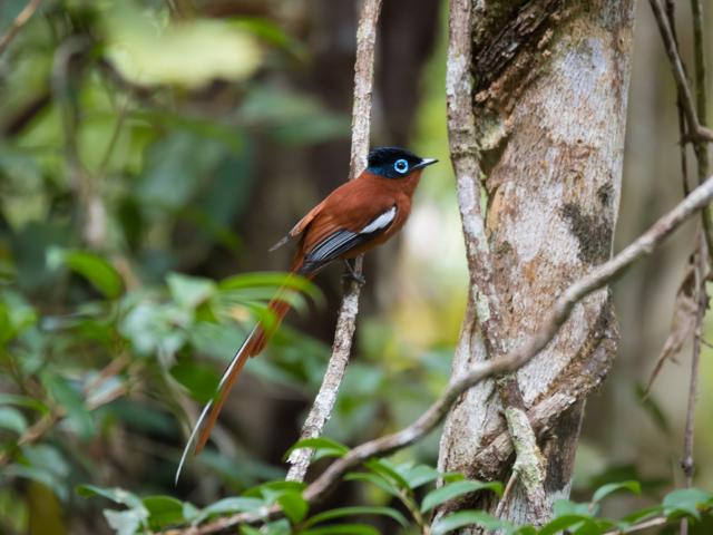 Malagasy Paradise Flycatcher, Andasibe-Mantadia National Park