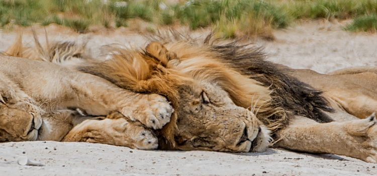 Kings of the jungle get quite a bit of shut-eye!