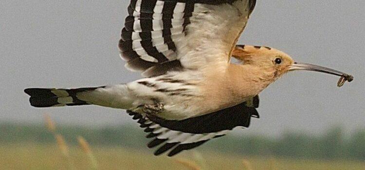 The African Hoopoe (Upupa Africana)