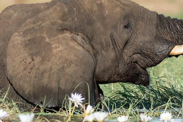 Elephant in the Chobe River, Botswana