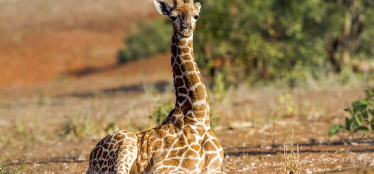 Did you know?  Giraffes occasionally sit or lie down, but not for long.