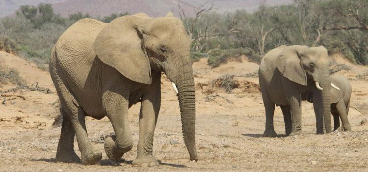 Namibia's Desert-Adapted Elephants