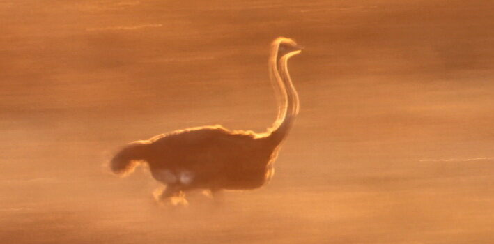 Did you know?  Ostriches can run up to 70 km/h