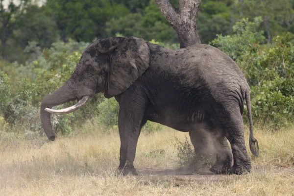 How does an elephant scratch an itch?