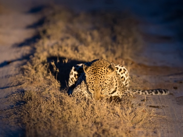 Female leopard walking in nature at night in darkness