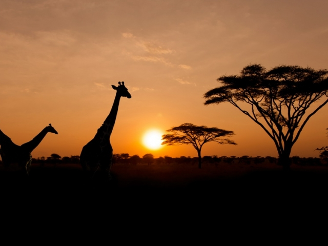 Setting sun with silhouettes of Giraffes