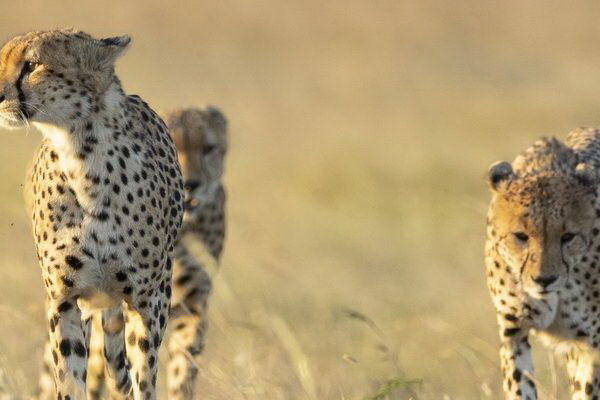 What is a group of cheetah called?