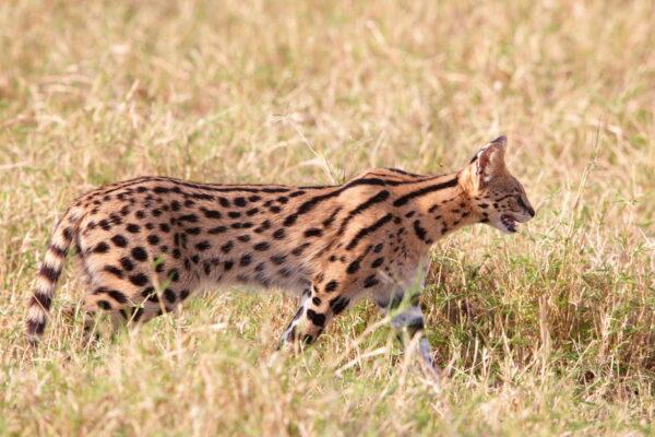The Super Sleek Serval Cat