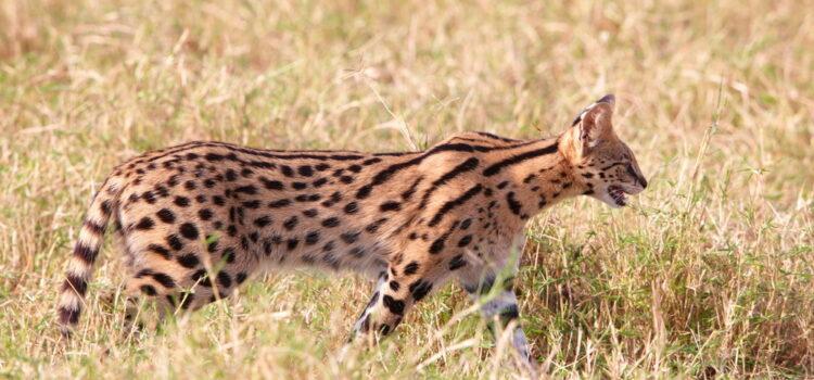 The super sleek serval!