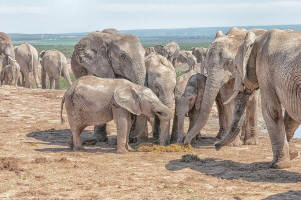 Why baby elephants eat their mothers dung