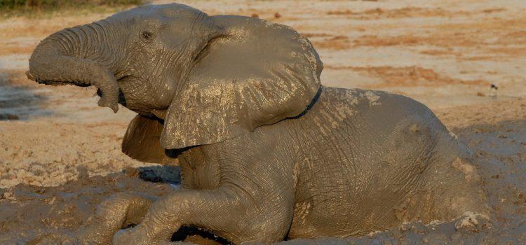 Why do Elephants bath in mud?