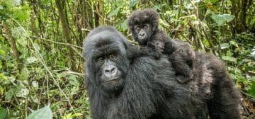 6-day Ultimate Rwanda Primate Safari
