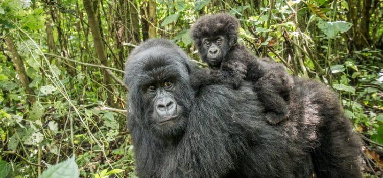 Rwanda – Baby gorillas playing