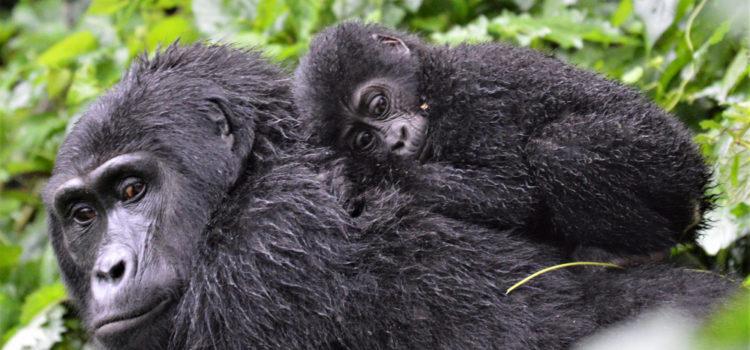 Trekking Gorillas in Bwindi Impenetrable Forest