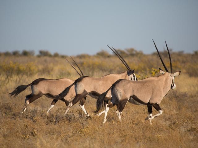 Gemsbok, Central Kalahari Game Reserve, Botswana