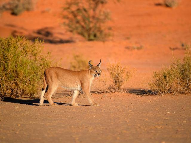 Caracal, Central Kalahari Game Reserve, Botswana