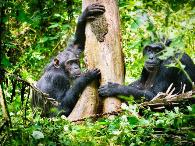 Cimpanzee, Kibale National Park, Uganda