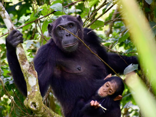 Chimpanzee, Kibale National Park, Uganda