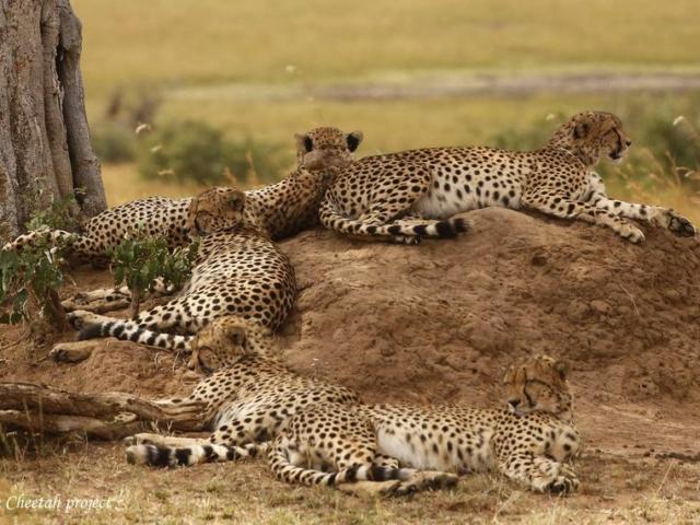 Coalition of Cheetah - Tano Bora