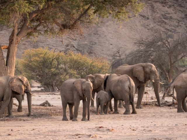 Desert Elephant, Damaraland, Namibia