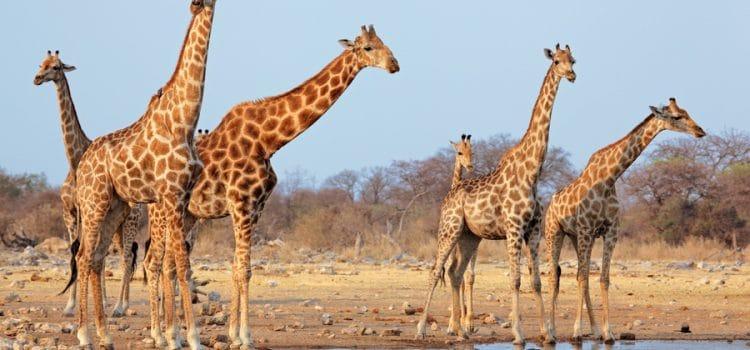 Giraffe used to roam across much of Africa