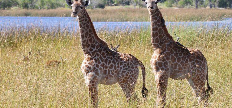 Baby Giraffes Galore!