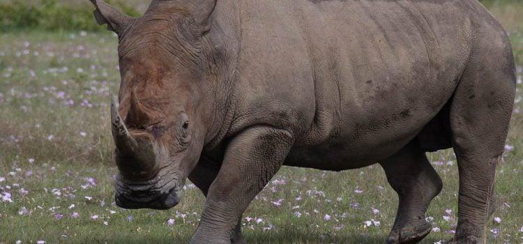 World Rhino Day (2020)
