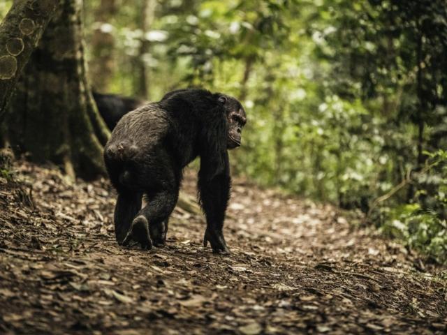 Chimpanzee Tracking, Gishwati Mukura National Park, Rwanda