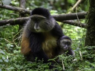 Golden Monkey, Gishwati Mukura National Park, Rwanda