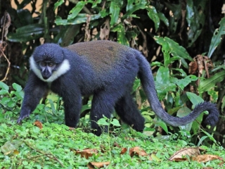 L'Hoests Monkey, Gishwati Mukura National Park, Rwanda